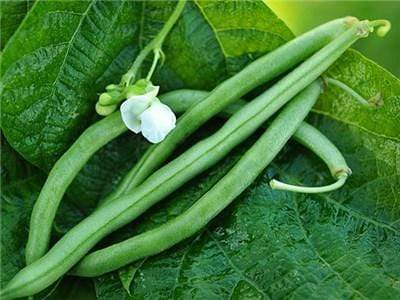 Green Valley Supply Lawn & Patio Blue Lake Bush Green Bean Seeds in 1 Oz Glass Jar