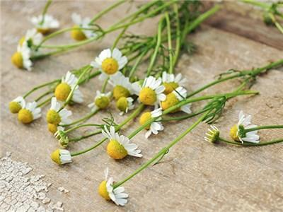 Green Valley Supply Lawn & Patio Chamomile Zloty Lan Seeds in 1 Oz Jar