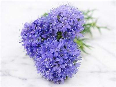 Green Valley Supply Seeds Gilia Globe (800 Seeds)