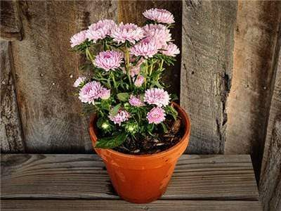 Green Valley Supply Seeds Pale Pink Dwarf Milady Asters (200 seeds)