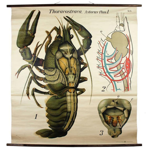 Hummer, Lobster, Paul Pfurtscheller Zoological Wall Chart, Crustacean, 1929