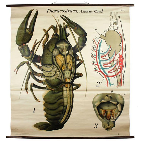 Hummer, Lobster, Paul Pfurtscheller Zoological Wall Chart, Crustacean, 1929 - Josef und Josefine