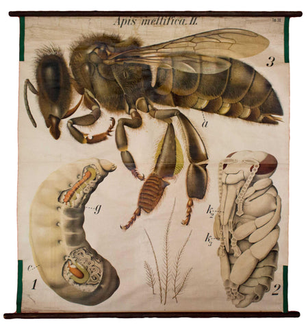 Honigbiene, Honey Bee by Paul Pfurtscheller, 1926 - Josef und Josefine