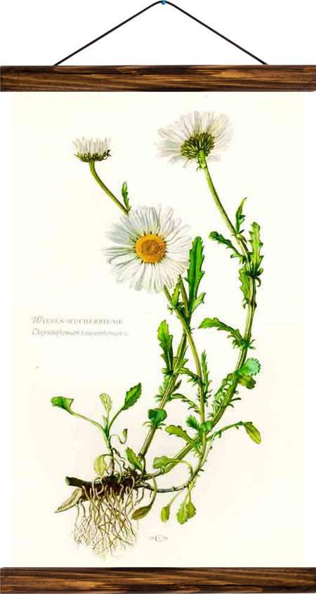 Marguerite daisy, reprint on linen - Josef und Josefine