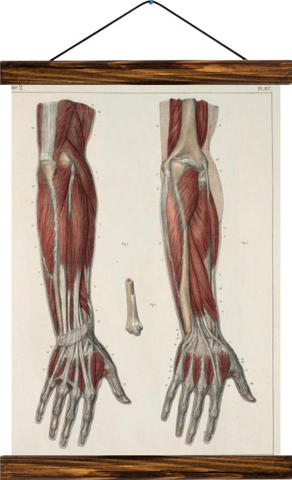 Human arm, reprint on linen - Josef und Josefine
