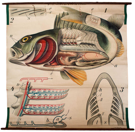 Barsch, Vintage Wall Chart Perch by Paul Pfurtscheller, 1913 - Josef und Josefine