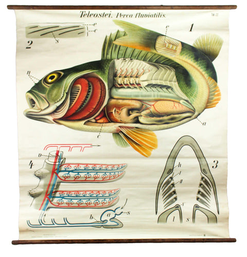 Barsch, Vintage Wall Chart Perch by Paul Pfurtscheller, 1913