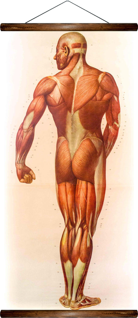 Human muscles, reprint on linen - Josef und Josefine