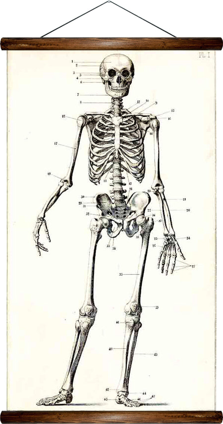 Human Skeleton, reprint on linen - Josef und Josefine