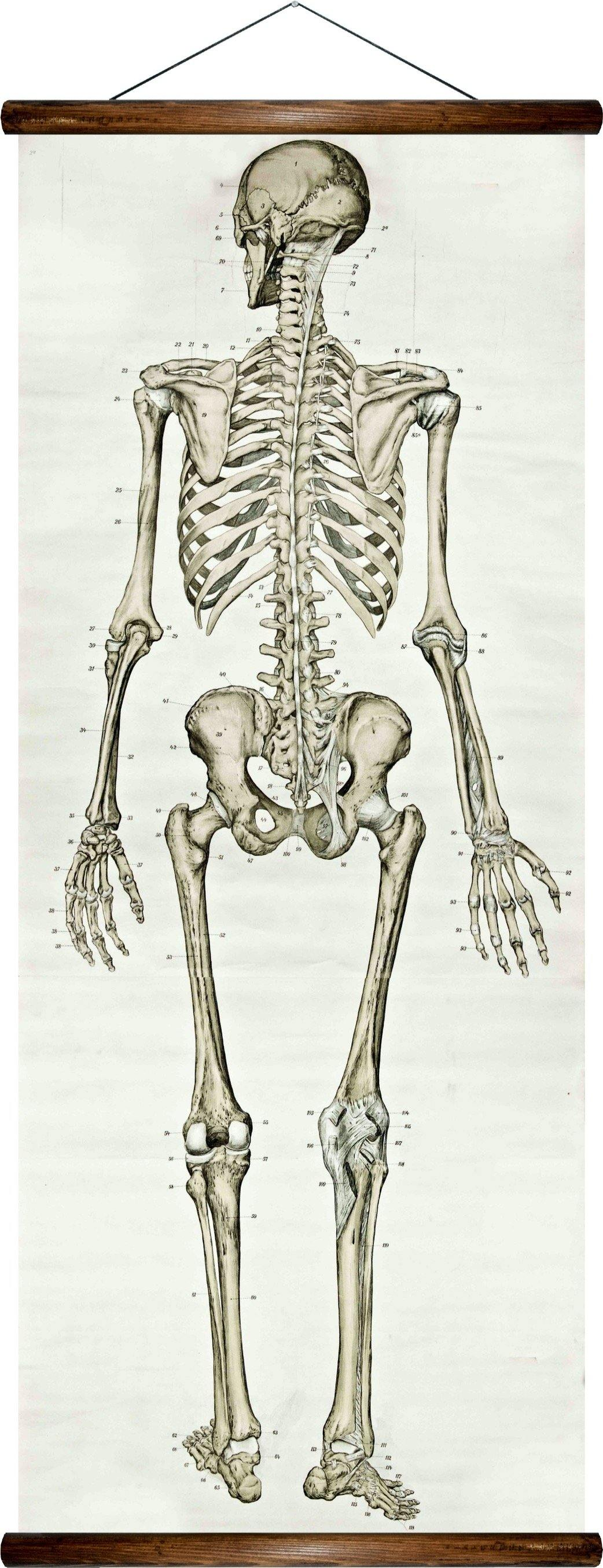 Human skeleton, reprint on linen