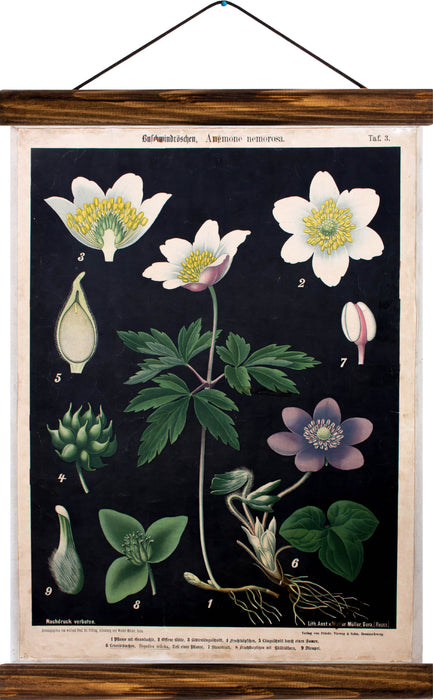Wood anemones, reprint on linen