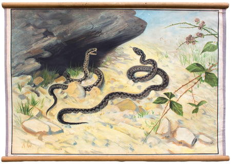 Kreuzotter, common viper, educational chart , 1903 - Josef und Josefine
