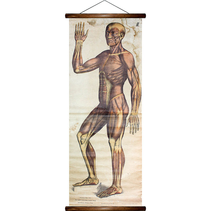 Muscles of the human body, reprint on linen