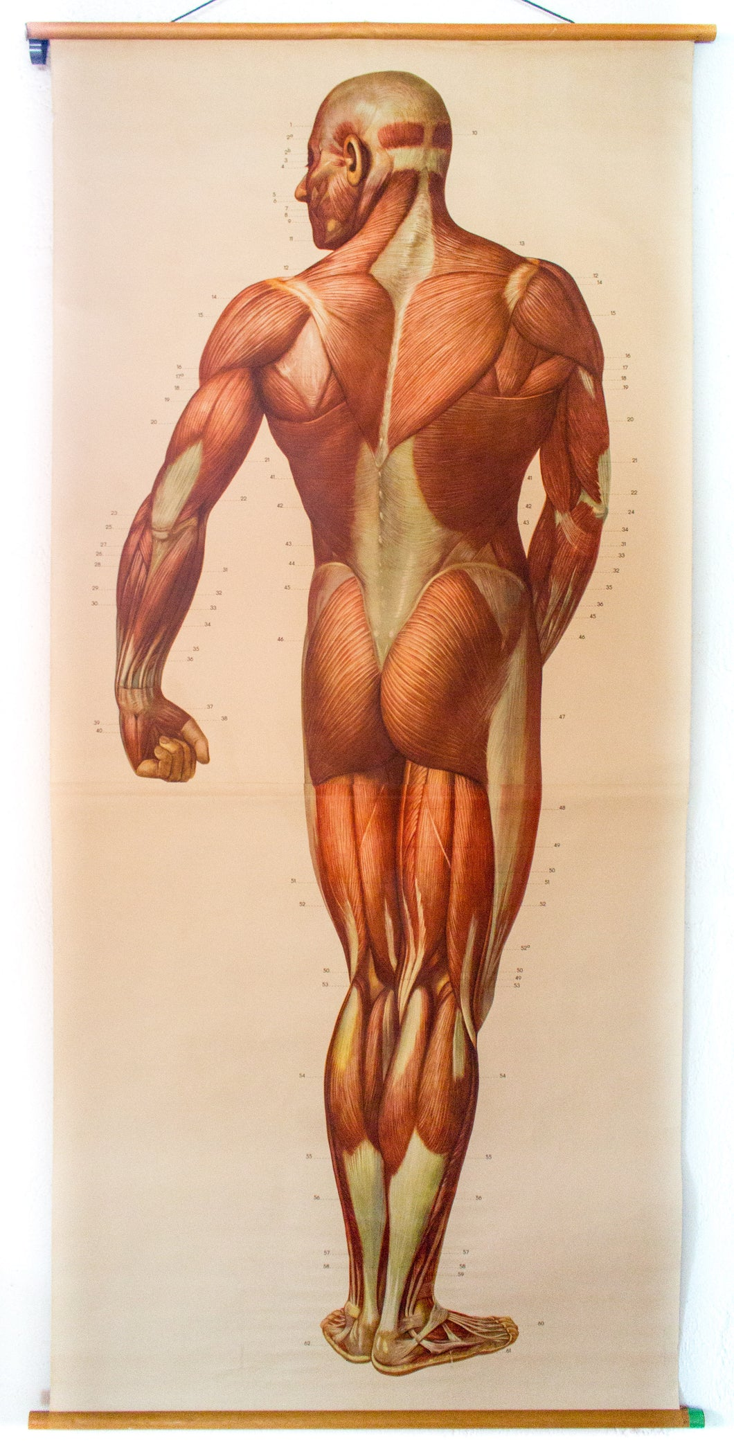 Muscles of the Human Body, Deutsches Hygiene Institute, 1948