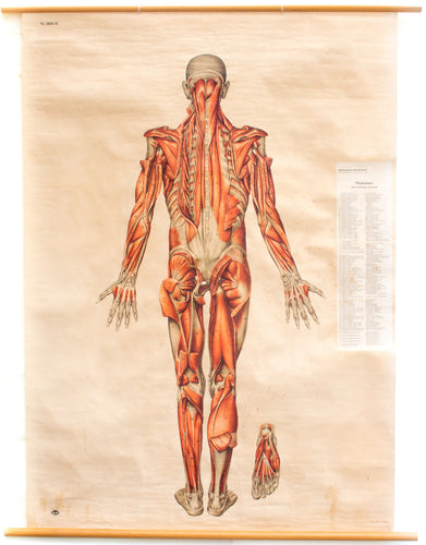 Muscles of the Human Body, Deutsches Hygiene Institute, 1951