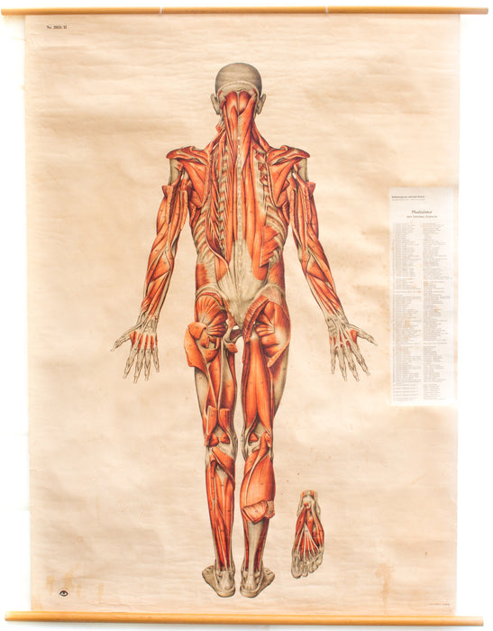 Muscles of the Human Body, Deutsches Hygiene Institute, 1951 - Josef und Josefine