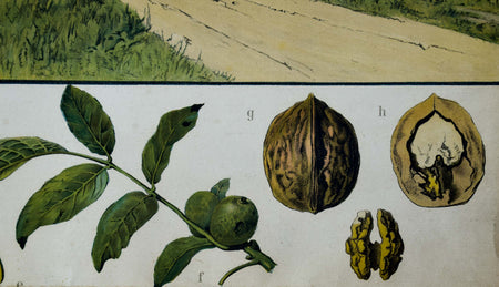 Walnut, Rare Vintage Botanical Wallchart, 1900 - Josef und Josefine
