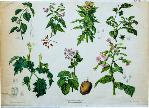 Vintage Botanical Wall Chart by A. Hartinger and G. V. Beck for Gerold & Sohn, 1900