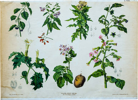 Vintage Botanical Wall Chart by A. Hartinger and G. V. Beck for Gerold & Sohn, 1900 - Josef und Josefine