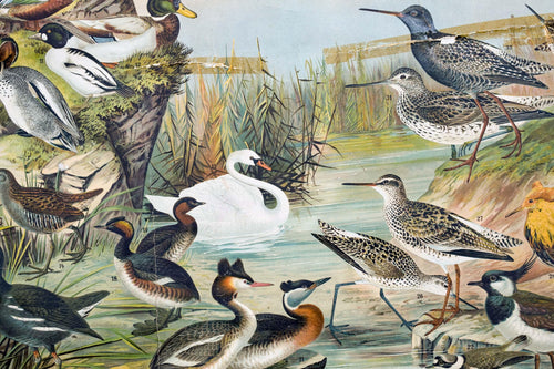 Marsh and Pond Birds, Vintage Bird Wall Chart, 1910