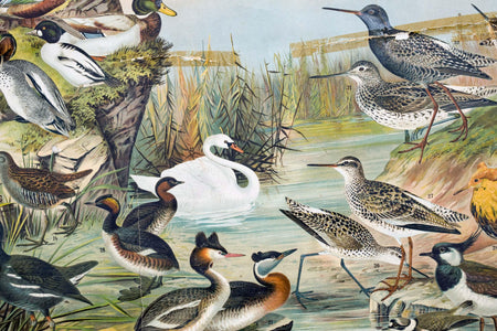 Marsh and Pond Birds, Vintage Bird Wall Chart, 1910 - Josef und Josefine