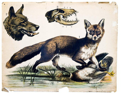 Fox and Wolf, Vintage Wall Chart, 1890