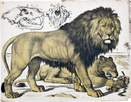Lion, Vintage Wall Chart, 1890