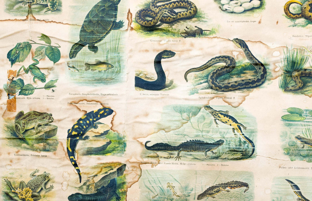 Reptiles and Amphibians, Vintage Wall Chart, 1910 - Josef und Josefine