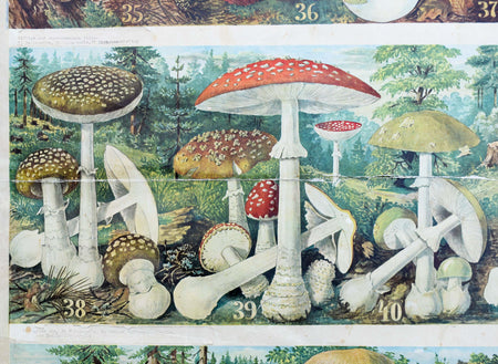 Mushrooms, Vintage Wall Chart, 1930 - Josef und Josefine