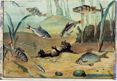 Fresh Water Fish, Vintage Wall Chart, 1950 - Josef und Josefine