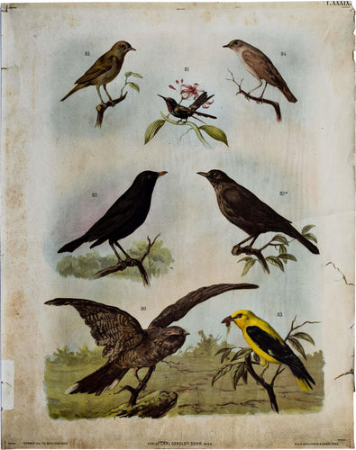 Birds, Vintage Wall Chart, 1890