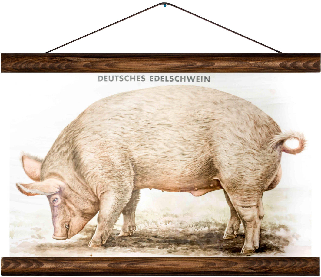 Domestic pig, reprint on linen