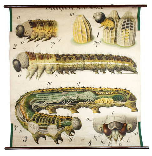Raupe, Paul Pfurtscheller Zoological Wall Chart, Caterpillar, 1908