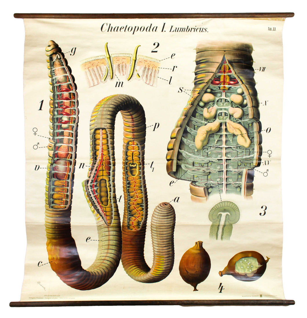 Regenwurm, Wall Chart Earth Worm, by Dr. Paul Pfurtscheller, 1906