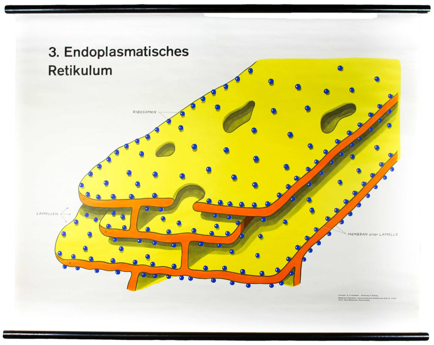 Endoplasmatisches Retikulum, Wall Chart by Dr. H. Kaudewitz for Westermann, 1968 - Josef und Josefine