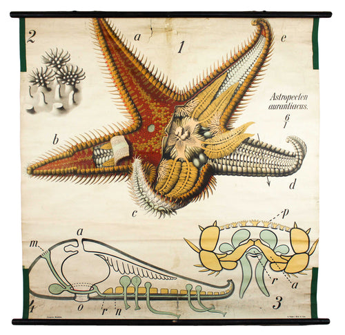 Seestern, Paul Pfurtscheller Zoological Wall Chart, Starfish, 1906