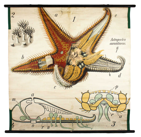 Seestern, Paul Pfurtscheller Zoological Wall Chart, Starfish, 1906 - Josef und Josefine