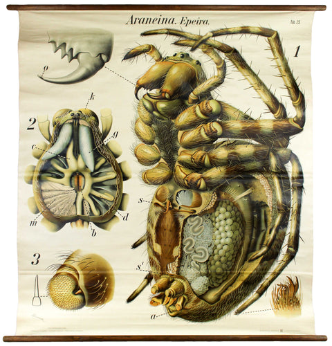 Spinne, Spider Wall Chart by Paul Pfurtscheller, 1910