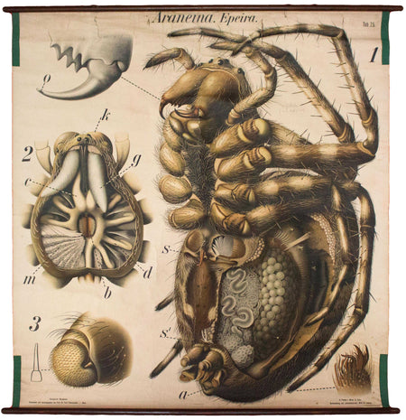 Spinne, Spider Wall Chart by Paul Pfurtscheller, 1910 - Josef und Josefine
