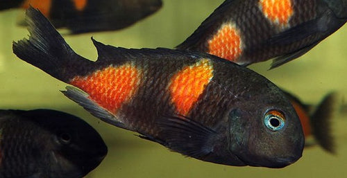 Tropheus Moori - Cherry Spot, Unsexed, Small 1.5 - 2.5""