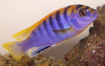 This fish is a Labidochromis Hongi , it is in stock and for sale!