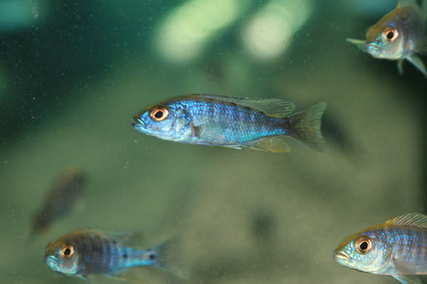 This fish is a Sciaenochromis Fryeri aka Electric Blue Hap Ahli, it is in stock and for sale!
