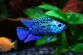 This fish is a Rocio Octofasciata aka Electric Blue Jack Dempsey , it is in stock and for sale!