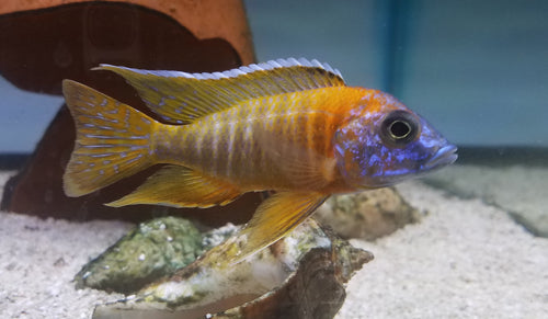 This fish is a Aulonocara - Strawberry Hybrid, it is in stock and for sale!