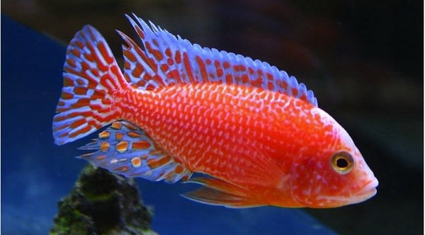 This fish is a Aulonocara Hybrid Sunburst