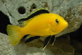 A Lemon Yellow Mbuna in one of our aquariums. To see more click on ...