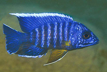 This fish is a Aulonocara Masoni, aka Mason's Peacock, it is in stock and for sale!