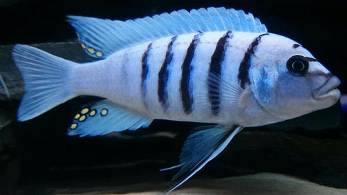 Cynotilapia Zebroides - White Top Afra, COMING SOON!