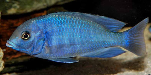 This Fish is a Cyrotocara Moori - Blue Dolphin