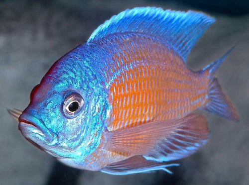 This fish is a Copadichromis Borleyi - Kandango, it is in stock and for sale!
